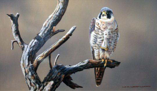 Peregrine Falcon by Wayne Westwood