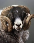 Rambo, the Swaledale Ram by Stephen Parks